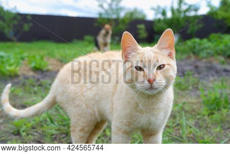 A Ginger Cat Walks Relaxed In The Yard On The Grass