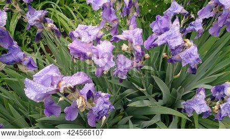 Iris sibirica. Beautiful delicate flower with large petals. Violet iris flower in raindrops
