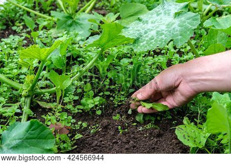 The Gardener Pulls Out The Weeds With His Hand In The Garden Bed, Where The Squash With Large Green