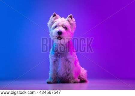 Portrait Of Cute White Beautiful West Highland Terrier Posing Isolated On Purple Background In Neon