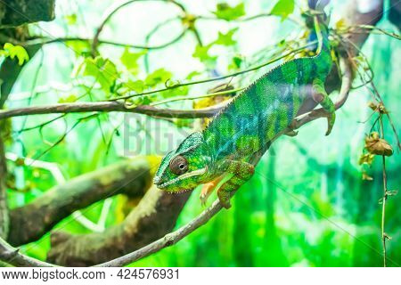 Panther chameleon Furcifer pardalis from Madagascar, perched on a branch