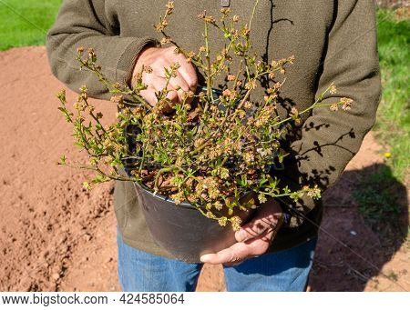 A Man Holding A Potted Blueberry Plant Ready To Plant.