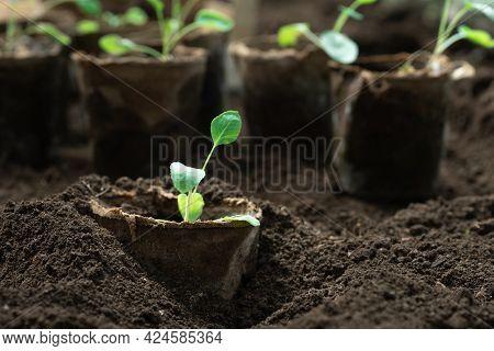 Planting Vegetable Seedlings Grown In Peat Pots