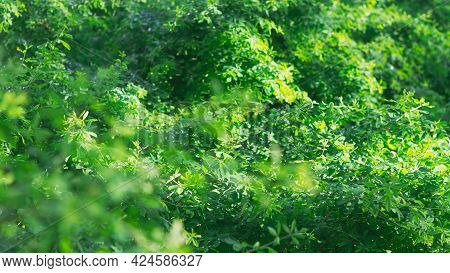 Green Background Of Acacia Plant Leaves, Tender Greens, Light Green Fresh Foliage In Spring Or Summe