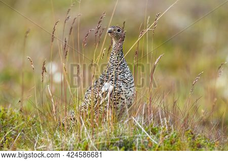 Rock Ptarmigan Resting On Field In Iceland Nature.