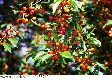 The Cherry Trees Are Full Of Cherries. The Cherry Orchard. Cherry Harvest.