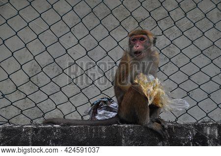 Toque Macaque Monkey In Galle, Sri Lanka.