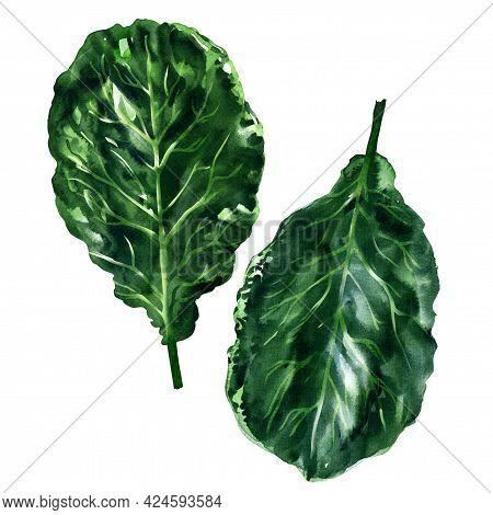 Fresh Collard Greens Leaves, Brassica Oleracea, Cabbage, Broccoli, Organic Vegetable, Close-up, Heal