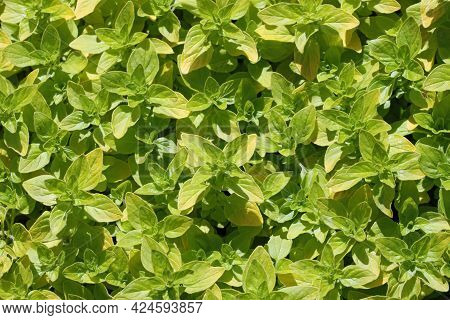 Yellowing Herb Oregano, Origanum Vulgare Variety Thumbles, Plant Leaves Only With No Flowers Or Back