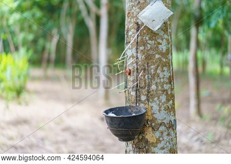 Rubber Tree (hevea Brasiliensis) Produces Latex By Using Ethylene Gas To Accelerate Productivity. La