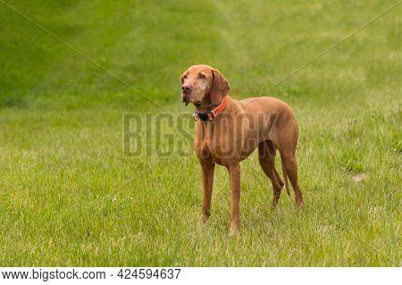 Big Brown-haired Pointing Dog - Hungarian Short-haired Pointing Dog - Vizsla Stands On A Green Field