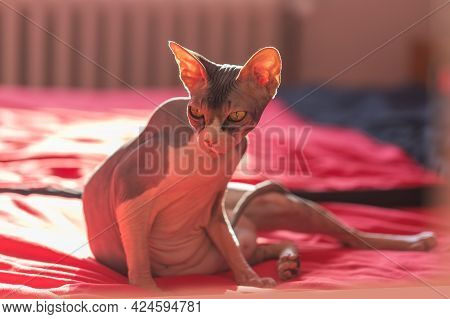 Sphynx - Exotic Looking Cat. A Hairless Adult Cat Sits On A Red Pillow.