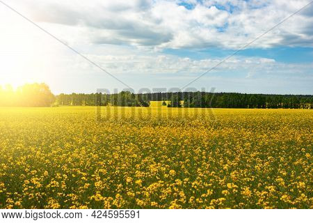Oilseed Canola Field Under Cloudy Sky Summer Sunny Day