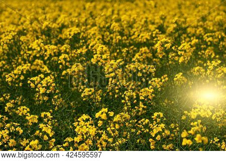 Blooming Canola Field. Closeup View At Flovers