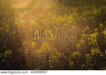 Rapeseed Field, Blooming Canola Flowers Close Up. Rape On The Field In Summer An Autumn In Hungary