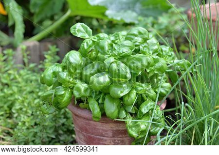 Closeup  On Basil Potted  With Chives And Oregano Growing  In Garden