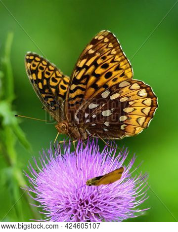 This Great Spangled Fritillary Butterfly Is Seen On A Thistle Bloom.