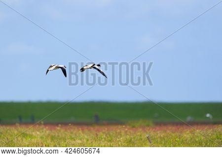 Couple common shelduck flying in the blue sky