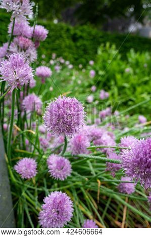Botanical Collection, Violet Blossom Of Edible, Medicinal, Ornamental Garden Plant Alllium, Chive On