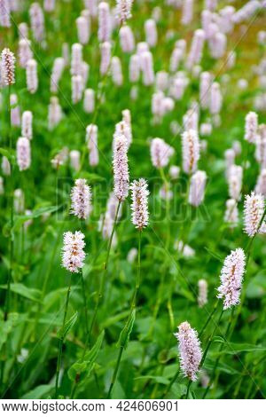 Botanical Collection, Young Green Leaves And Pink Flowers Of Medicinal Plant Bistorta Officinalis Or