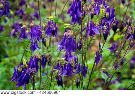 Botanical Collection, Young Green Leaves And Violet Flowers Of Garden Poisoning Plant  Aquilegia Vul