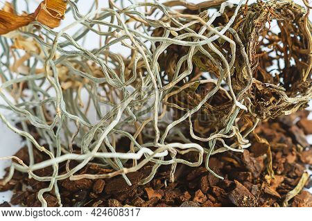 Tangled Dry Roots Of A Dead Orchid Plant. The Overgrown Roots Of An Exotic Orchid Lie On The Table.