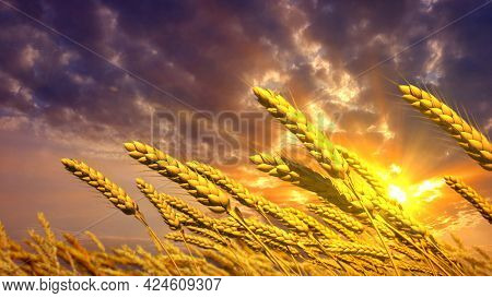 Ripe Wheat Spikelets Field At Pretty Sunrise Backdrop - Concept Nature 3d Rendering