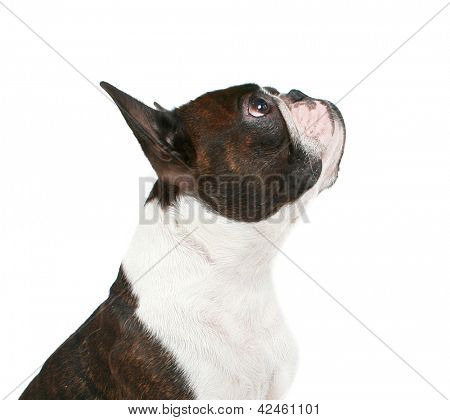 a boston terrier profile