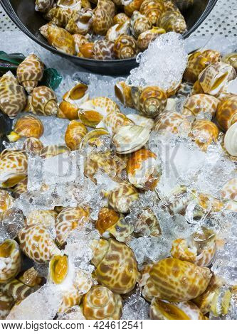 Fresh Spotted Babylon (babylonia Areolata) In The Metal Tray With Crushed Ice For Sale In The Seafoo