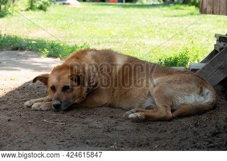 Dog With Sad Face. Sad Australian Shepherd Female Lying On The Earth. Sad Dog Eyes.