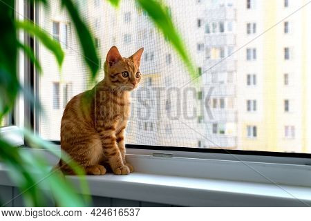 Close-up Of A Small Cute Ginger Tabby Kitten Sitting On A Windowsill With A Mosquito Net And Looking