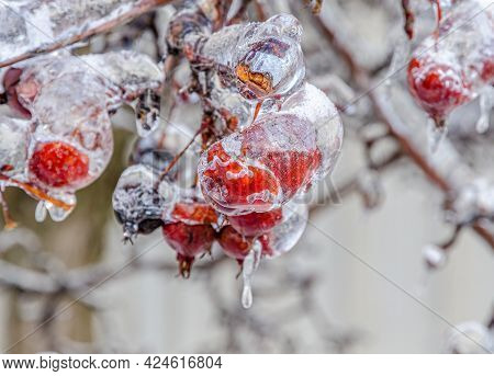 Twigs Of Tree Encased In Ice After A Freezing Rain Storm
