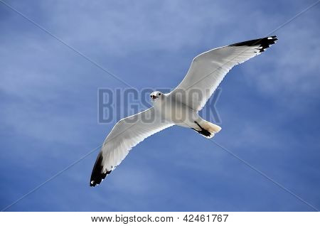 The Seagull Flying