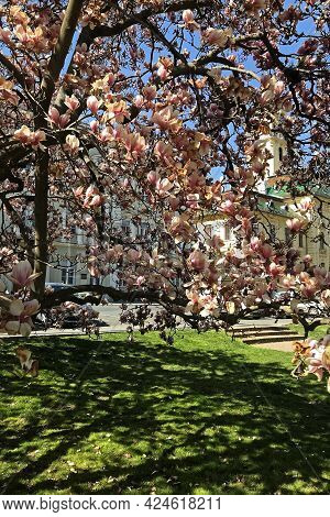 Spring Apple Blossom On A City Street In The Hungarian City Of Szeged.