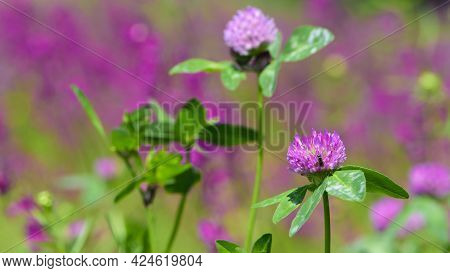 Clover. Flowering Meadow. Wild Red Clover Flower Isolated, Trifolium Pratense, With Green Background