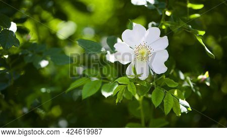 Beautiful Rosehip Flower Close Up. Rosehip, Rosa Canina Light Pink Flowers Bloom On The Branches, Be