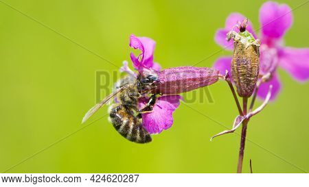 Bee On A Flower. European Bee Collects Nectar On A Pink Meadow Flower Viscaria Vulgaris. Honey Bee,