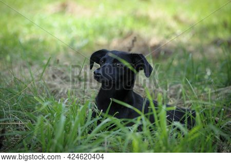 Black Dog. Dog On The Grass. Adult Purebred Cute Dog In Spring Or Summer, Lying On The Grass, On The