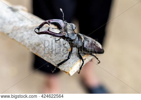 One, Single European Stag Beetle Standing On The Wooden Stick