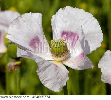 Detail Of Flowering Opium Poppy In Latin Papaver Somniferum, Poppy Field, White Colored Poppy Is Gro