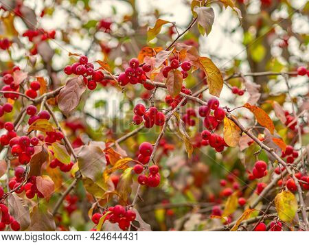 Apple Tree Branches With Red Apples And Yellow Leaves In Autumn. Bright Yellow And Orange Autumn Lea