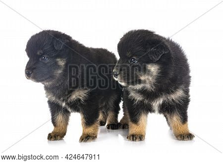 Puppies Finnish Lapphund In Front Of White Background