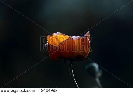 Orange Poppy flower backlit with sun light