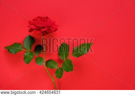 Red Rose On A Bright Red Background. Beautiful Floral Background. Valentines Day Background.