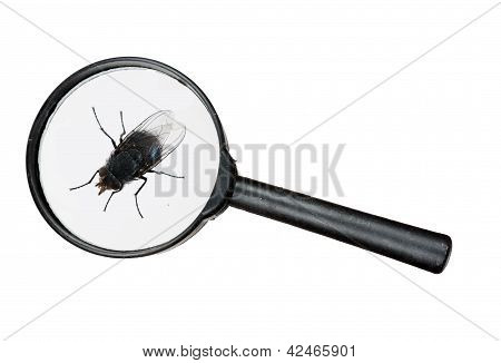 Fly Under Real Magnifying Glass Isolated Over White
