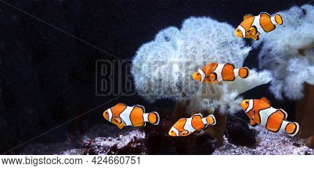 Sea anemone and clown fish in marine aquarium. Isolated on black background. Horizontal banner with tropical fish. Copy space for text. Mock up template