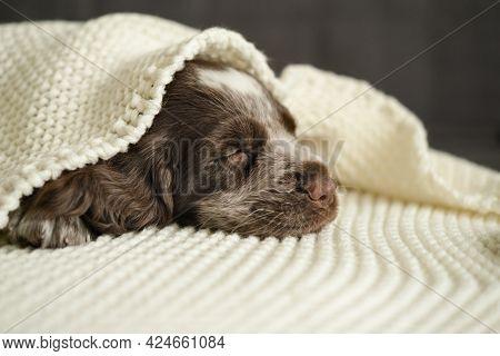 Russian Spaniel Brown Merle Blue Eyes Puppy Dog Sleep Under Plaid