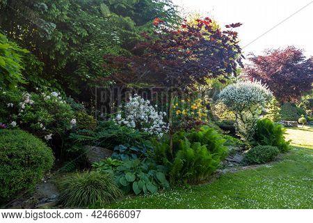 Summer Garden With Conifer Trees, Green Grass And Flowering Azalea Flowers . Gardening Concept.