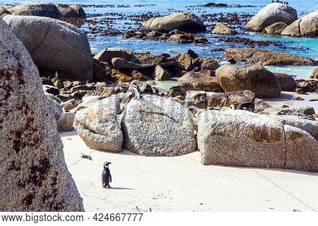 South Africa. The flightless bird is a spectacled penguin. Sandbank with large rocks and algae. Scenic Penguin Conservation Area near Cape Town.