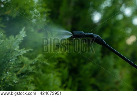 Close-up Gardener Applying Insecticide Fertilizer To His Thuja Using A Sprayer